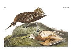 Eskimo Curlew - the possibly-extinct relative of the Little Curlew
