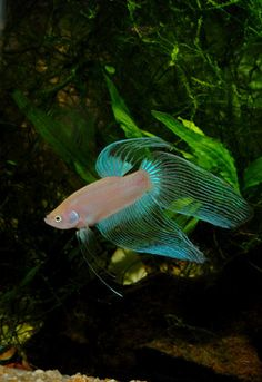 Betta betta fish and green on pinterest for Betta fish life expectancy
