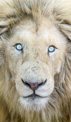 Portrait of a magnifiscent white lion by Tambako the Jaguar, via Flickr