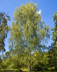 Betula pendula - Nyírfa