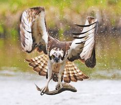 Spectacular photo of a hawk? just after it has caught a fish and is in flight.