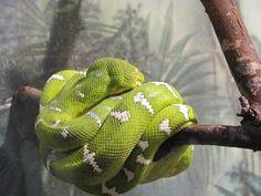 Verde, Árvore, Jibóia, Serpente, Amazon Tree Boa