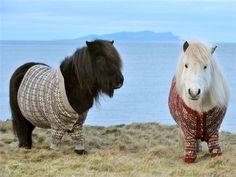 Hahaha, Shetland pony's met een trui aan