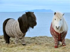 Shetland ponies wearing Shetland wool sweaters on Shetland Isles--LOL WHAT IS THIS? 8'D