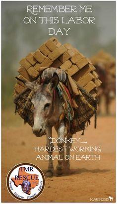 """"""" Souviens-toi de ce jour de labeur !"""" , """" L'âne, l'animal qui travaille le plus durement sur terre !"""" / L'animal est une personne ! / Stop à l'exploitation inhumaine de l'animal ! / Overloaded donkey, so heartbreaking !"""