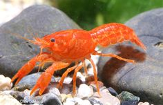 """Cambarellus patzcuarensis, Mexican dwarf orange crayfish, only gets to about 2"""" and looks like a miniature bright orange lobster."""