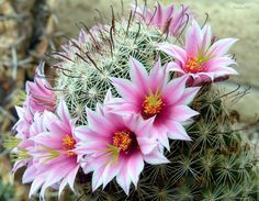 *ARIZONA ~ This Pincushion cactus is also known as the Yaqui Fishhook. It blooms in the southwest during spring and summer, with a beautiful ring of flowers around the crown of the plant. This one grows in the yard of a friend, near Tucson Arizona.