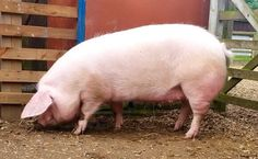 My British lop pig gilt