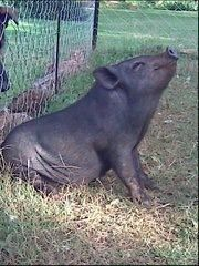Molly Moo our pot belly pet pig