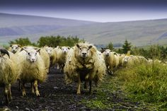Annual Sheep Herding, Iceland