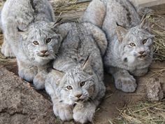Canada Lynx often store leftover kill by covering it with snow. Adult lynx are solitary hunters, although a mother and her young will often hunt together. Crazy Cats, Big Cats, Cats And Kittens, Cute Cats, Animals And Pets, Baby Animals, Cute Animals, Funny Animals, Beautiful Cats