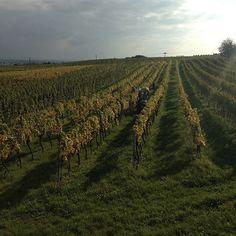 Gumpoldskirchen, Zierfandler, In Gumpoldskirchen vines at Schellmann #circovino #austrianwine