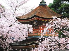 Kyoto (Cherry Blossoms)