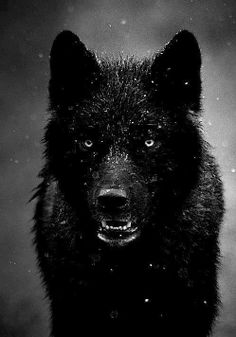 Imagine having a pet wolf who was not only your pet but a friend too. A trusted one to watch your back. A wolf called Midnight, dark watcher of the day, bright warrior of the night. Beautiful Creatures, Animals Beautiful, Majestic Animals, Animals And Pets, Cute Animals, Wild Animals, Angry Animals, Black Animals, Fierce Animals
