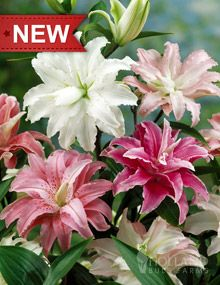 "Double Oriental Lilies:  Height: 	32-40""  Bulb Size: 	16/18 cm  Naturalizing: 	Yes  Pleasantly Scented: 	Yes  Perennializing: 	Yes  Grow In Containers: 	Yes  Cutflower: 	Yes  Hardiness Zone: 	3 - 9  Suitable Zone: 	3 - 10  Planting Time: 	Spring  Planting Depths: 	4-6""  Planting Spacing: 	8-12"""