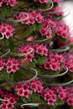 Echium wildpretii 'Tower of Jewels', Deer resistant, bug proof and totally…