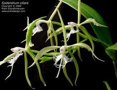 Epidendrum ciliare Vanda Orchids, Orchid Flowers, Orchidaceae, Planting Flowers, Plant Leaves, Bloom, Plants, Orchid, Plant