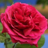 Google Image Result for http://www.nurseriesonline.com.au/Photographs200/Tess-of-the-d%27Urbervilles-rose.jpg