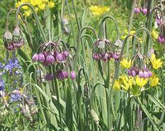 Gärtnerei Naturwuchs -- Allium -- Laucharten (H) -- Allium cernuum -- Nickender…