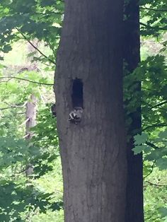 Raccoon condo