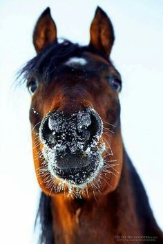 Give me a kiss! Snow horse nose!