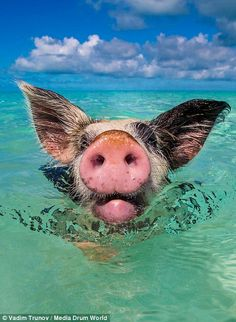 Hog heaven: The pigs are perfectly friendly, swimming out to welcome tourist boats arriving on their private island