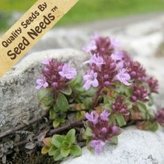 Seeds, Creeping Thyme (Thymus serpyllum) Seeds By Seed Needs Fairy Garden Plants, Fairy Gardens, Thymus Serpyllum, Creeping Thyme, Planting Grass, Seed Packaging, Buy Seeds, Pond Landscaping, Lawn And Garden