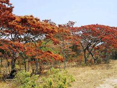 Beautiful Msasa trees in summer.