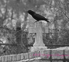 Cemetery Crow New Orleans Cemetery Photography