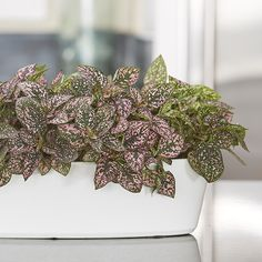 Polka-dot plant shows off wonderful green leaves speckled in pink, red, and white! Front Yard Garden Design, Front Yard Plants, Love Garden, Shade Garden, Pink Leaf Plant, All About Plants, Pink Leaves, Office Plants, Diy Greenhouse