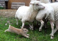 Champis, the sheep herding bunny, from Sweden...if you haven't seen Champis's video you gotta look on YouTube...