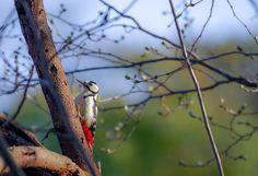 アカゲラ Great Spotted Woodpecker