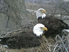 Mom and Dad on the nest at Decorah, Iowa 2012 from Decorah Eagles: A Time-Consuming Interest of Mine via logb-chiccoreal.blogspot.com