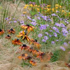 278 отметок «Нравится», 2 комментариев — Carolyn Mullet/CarexTours (@ccamullet) в Instagram: «Rudbeckia hirta @jakobstuin a naturalistic garden in the Netherlands. CarexTours: link in profile.…»