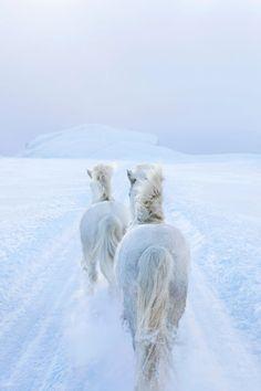 Fotografie da favola dei cavalli che vivono nelle terre selvagge d'Islanda