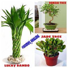 نباتات الحظ والثروة ، هذه النباتات تستخدم في الفونغ شوي لركن الثروة والوفرة