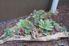 Succulents in driftwood planter
