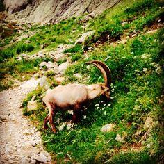 Beautiful wildlife in the Chamonix Mont Blanc Alps!