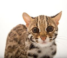Small Wild Cats, Big Cats, Asian Leopard Cat, Cat Boarding, My Animal, Pets, Drawings, Pictures, Drawing Things