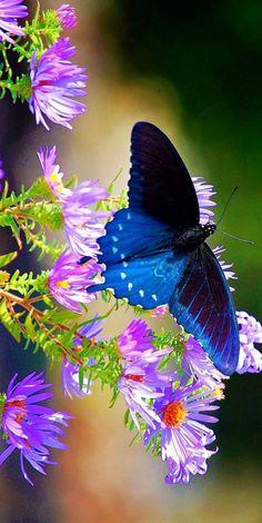 photos de papillons, bleu papillon