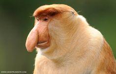 Proboscis monkey of Borneo  Photo: cedeprudente.com