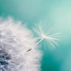 "Fine art photography - dandelion  nature photography 5x5 fine art print - botanical photograph teal blue aqua-  ""In Flight"" clickety. $13.00, via Etsy."