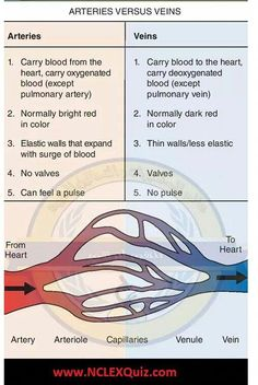 Difference between Arteries and Veins: Structure and Function of Blood Vessels - NCLEX Quiz Medical Facts, Medical Science, Nursing School Notes, Nursing Schools, Nurse Teaching, Arteries And Veins, Critical Care Nursing, Cardiac Nursing, Nursing Tips