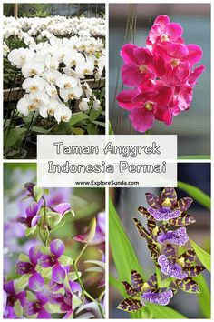 Taman Anggrek Indonesia Permai [TAIP] is the best place to buy varieties of orchids in Jakarta | #ExploreSunda Top Place, The Good Place, Blooming Orchid, Orchid House, Wolf Book, Types Of Orchids, Flower Petals, Flowers, Moth Orchid