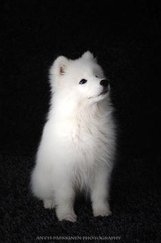 Cute Samoyed