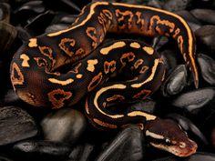 yellowbelly black pastel mystic ball python.