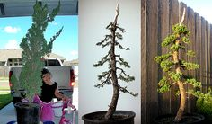 Bonsai before and after