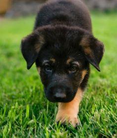 Beautiful German Shepard Puppy. I want