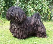 My (Future) Puli.For when I live on a farmhouse Puli Dog, Farmhouse, Future, Live, Dogs, Animals, Future Tense, Animales, Animaux