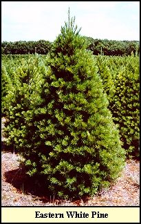 36 best Christmas Tree Species images on Pinterest | Fraser fir, White spruce and Evergreen